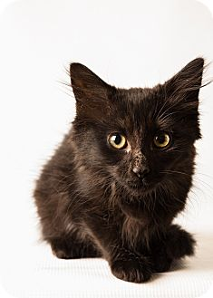 Domestic Mediumhair Kitten for adoption in Hendersonville, North Carolina - Britt