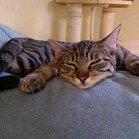 Domestic Shorthair Cat for adoption in Yuba City, California - Zipper