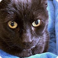 Domestic Shorthair Cat for adoption in Philadelphia, Pennsylvania - Emmitt