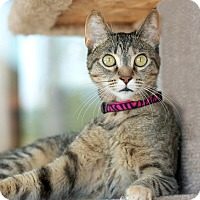 Domestic Shorthair Cat for adoption in Coronado, California - Cougar