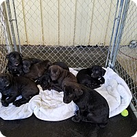 Adopt A Pet :: LAB/CATTLEDOG MIX PUPS - Gustine, CA