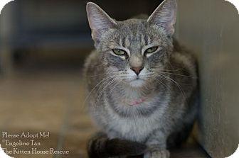 Domestic Shorthair Cat for adoption in Houston, Texas - KITTY MOW MOW