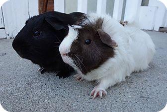 Guinea Pig for adoption in Fullerton, California - Dresden & Tazzy
