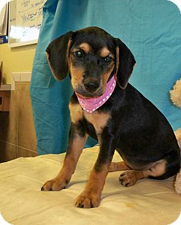Beagle/Rottweiler Mix Puppy for adoption in Poteau, Oklahoma - CAMILLE