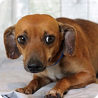 Dachshund Mix Dog for adoption in Waldorf, Maryland - Rhett