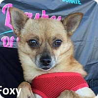 Pomeranian/Chihuahua Mix Dog for adoption in Lake Forest, California - Foxy