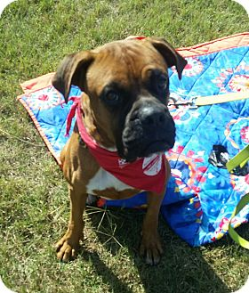 Boxer Dog for adoption in Austin, Texas - Laredo