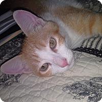 Adopt A Pet :: Andy BC - Schertz, TX