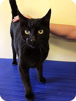 Domestic Shorthair Cat for adoption in LAFAYETTE, Louisiana - DANIEL