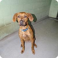 Plott Hound Mix Dog for adoption in Brooksville, Florida - BOGART