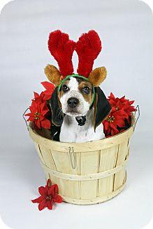 Coonhound/Basset Hound Mix Puppy for adoption in Joliet, Illinois - Chuck