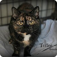 Adopt A Pet :: Toffee - Glen Mills, PA