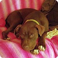 Adopt A Pet :: Fancy Pants - Knoxville, TN