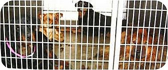Golden Retriever Dog for adoption in Harbor City, California - Lancaster Dogs