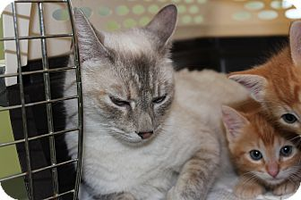 Siamese Cat for adoption in Santa Monica, California - Lillian