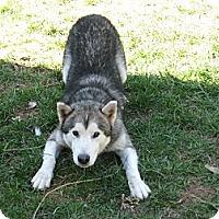 Adopt A Pet :: Thor - Augusta County, VA