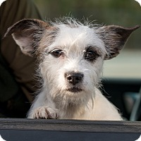 Adopt A Pet :: LIttle Bit - Scotland Neck, NC