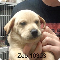 Adopt A Pet :: Zeb - baltimore, MD