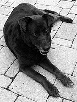Labrador Retriever Mix Dog for adoption in Chantilly, Virginia - Ginny