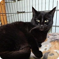 Domestic Shorthair Cat for adoption in Long Beach, Washington - Inky