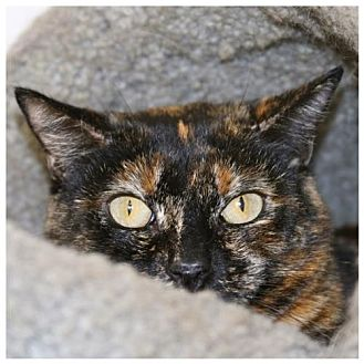 Domestic Shorthair Cat for adoption in Lancaster, California - Tara