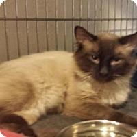 Siamese Cat for adoption in Iroquois, Illinois - Romeo