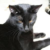 Domestic Shorthair Cat for adoption in Bonita Springs, Florida - Marvin
