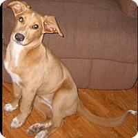 Adopt A Pet :: Velvet - Harrisburg, PA