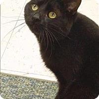 Adopt A Pet :: Simba - Sherwood, OR