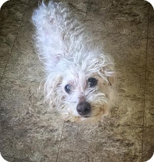 Maltese/Miniature Poodle Mix Dog for adoption in Chicago, Illinois - Mad Max