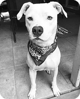 American Bulldog Mix Dog for adoption in Alpharetta, Georgia - Kaustin