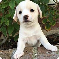 Adopt A Pet :: Zoe - La Habra Heights, CA