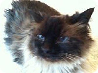 Ragdoll Cat for adoption in Smyrna, Georgia - Gracie