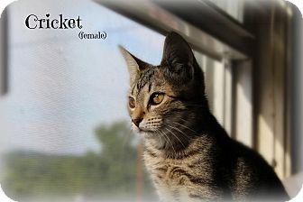 Egyptian Mau Kitten for adoption in Glen Mills, Pennsylvania - Cricket