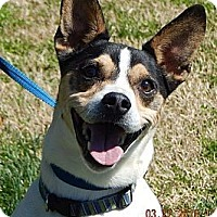 Rat Terrier/Terrier (Unknown Type, Medium) Mix Dog for adoption in West Sand Lake, New York - JoJo(24 lb)Perfect Family Pet!