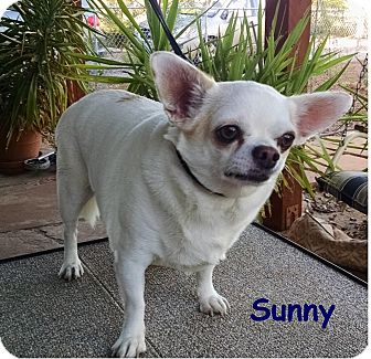 Chihuahua Dog for adoption in Tucson, Arizona - Sunny