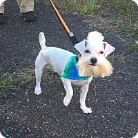 Adopt A Pet :: Chico - Fredericksburg, VA