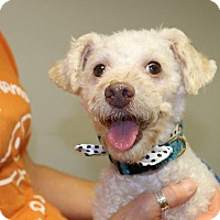 Poodle (Standard) Dog for adoption in Valparaiso, Indiana - Kenneth