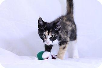 Calico Kitten for adoption in Murfreesboro, North Carolina - Mallie