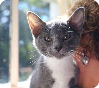 Domestic Shorthair Kitten for adoption in Butner, North Carolina - Louie