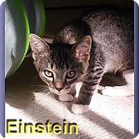 Adopt A Pet :: Einstein - Aldie, VA