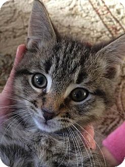 Domestic Shorthair Cat for adoption in Walworth, New York - Lee