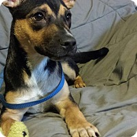 Adopt A Pet :: Zeus2 - Olympia, WA