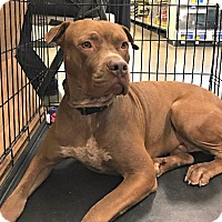 American Staffordshire Terrier Mix Dog for adoption in Tucson, Arizona - Miles