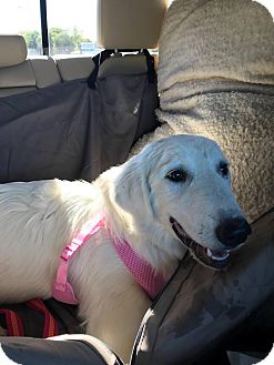 Great Pyrenees/Golden Retriever Mix Dog for adoption in Peyton, Colorado - Shiloh