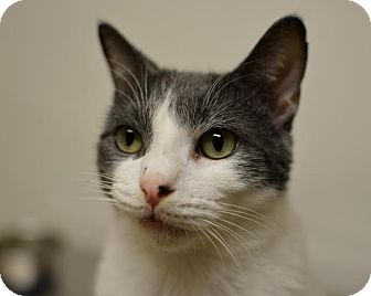 Domestic Shorthair Cat for adoption in Scituate, Massachusetts - Troubles