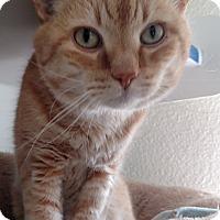 Adopt A Pet :: Yams - Divide, CO
