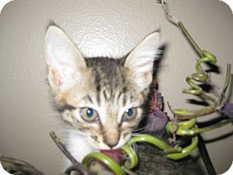 Domestic Shorthair Kitten for adoption in Clearfield, Utah - Aria
