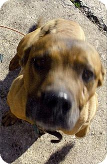 Pit Bull Terrier Mix Dog for adoption in Moulton, Alabama - Yogi