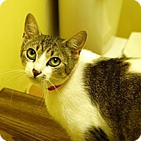 American Shorthair Cat for adoption in Jackson, Mississippi - St. Francis